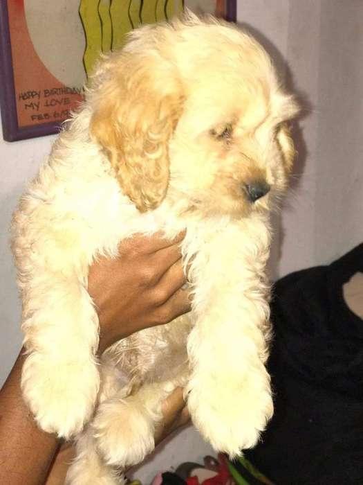 Poodle Mix Macho