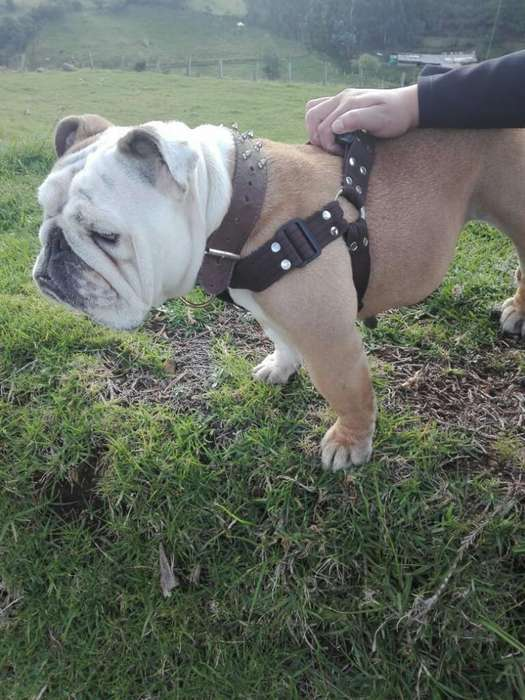 Busco Perro para Monta Bulldog Ingles