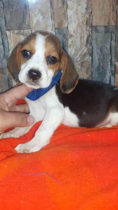 <strong>beagle</strong> Enanos Creido X1
