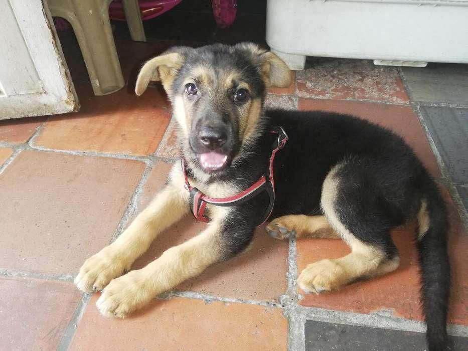 Hermosa Cachorra Pastor Alemán