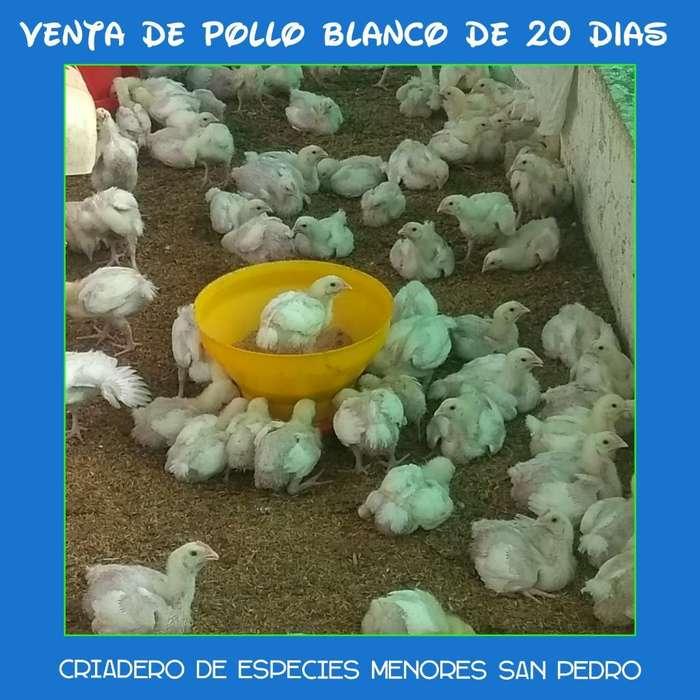 Venta de Pollos Blancos Y Criollos