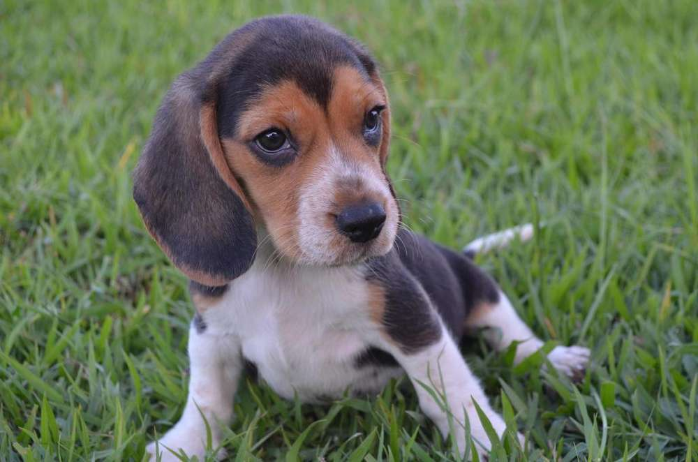 Hermosos beagle disponibles machos