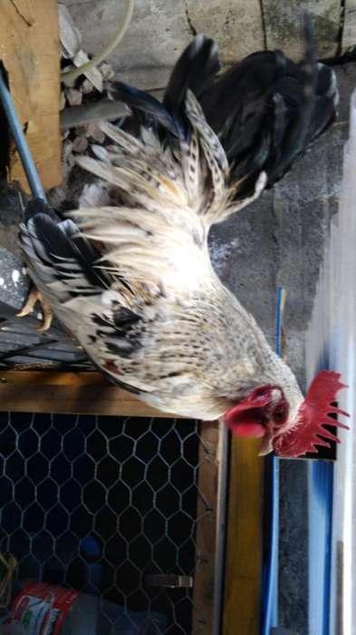Pollos Enanos Patas Cortas
