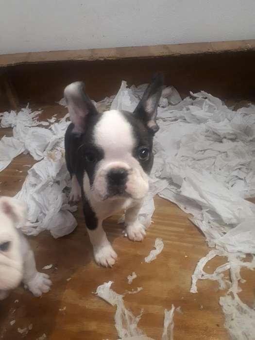 Vendo Bulldog Frances