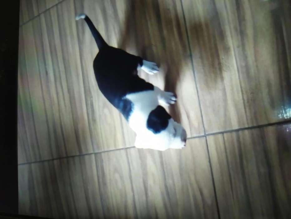 Vendo pit bull Stanford cel 3208877391