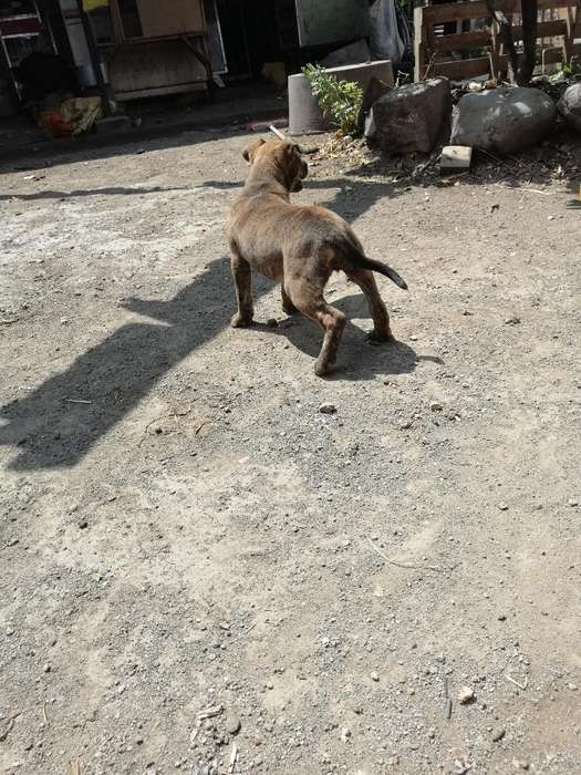 Doy en Adopción Hermosa Cachorra <strong>bulldog</strong>