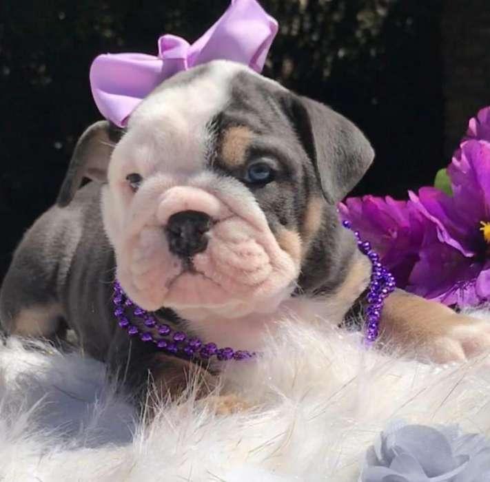 Bulldog tricolor