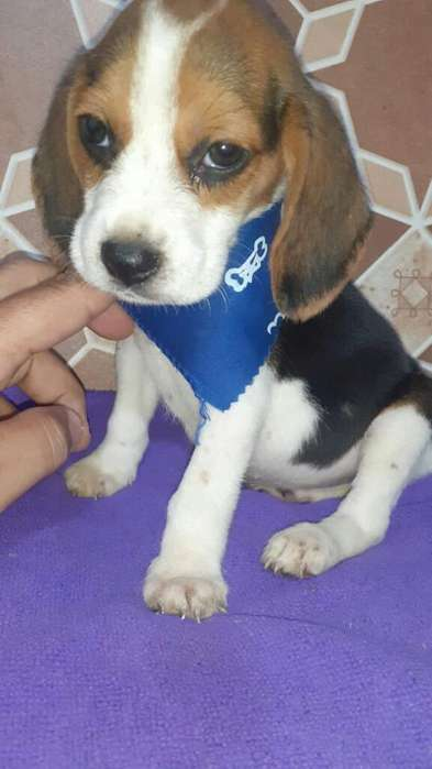 Obediente <strong>beagle</strong> Enano Cody