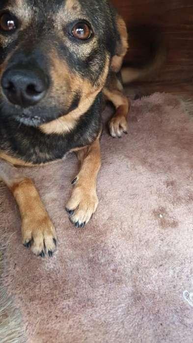 Pitu, perrito en adopción