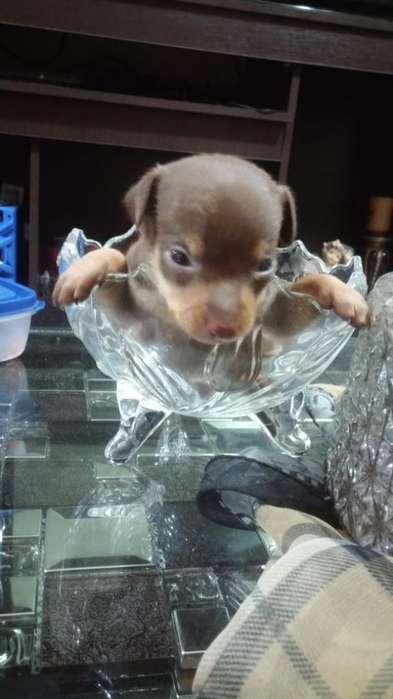 Vendo Cachorro de Pincher Doberman