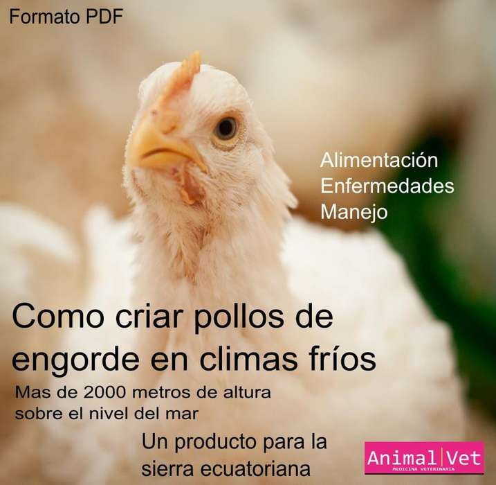Como criar <strong>pollos</strong> de engorde en climas frios