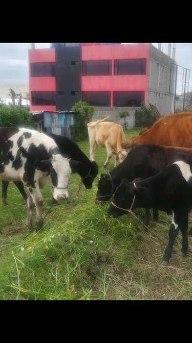 Vaconas Y <strong>vaca</strong>s Diferentes Precios