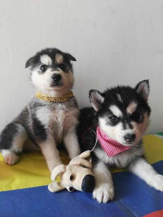 venta de cachorros husky con alta pureza