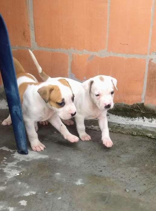 Se Vende Dos Hermosas Cachorras