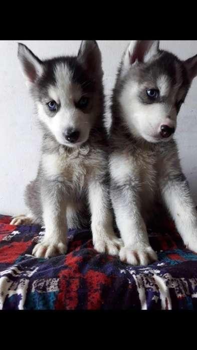 Divinos Cachorritos Husky Siberiano