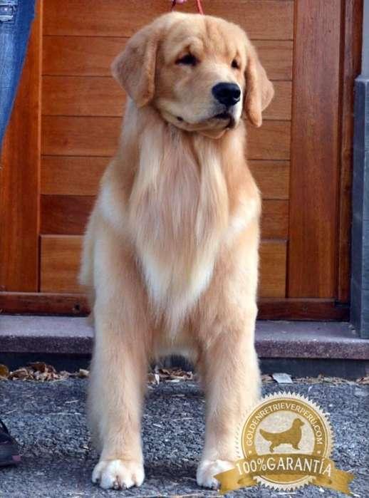 <strong>cachorro</strong>S GOLDEN RETRIEVER PERU EXCLUSIVOS GARANTIA