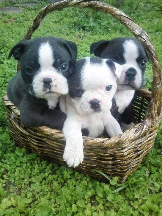 PRECIOSOS <strong>cachorro</strong>S BOSTON TERRIER PUROS