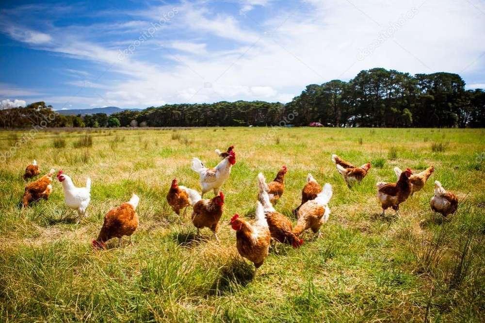 <strong>pollos</strong> de Campo Enteros Pelados O en Pie