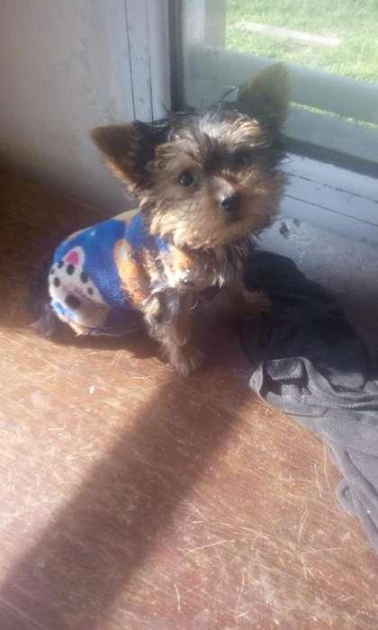 cachorro yorkshire,mini,de 60 dias,vacunado con quintuple viral.