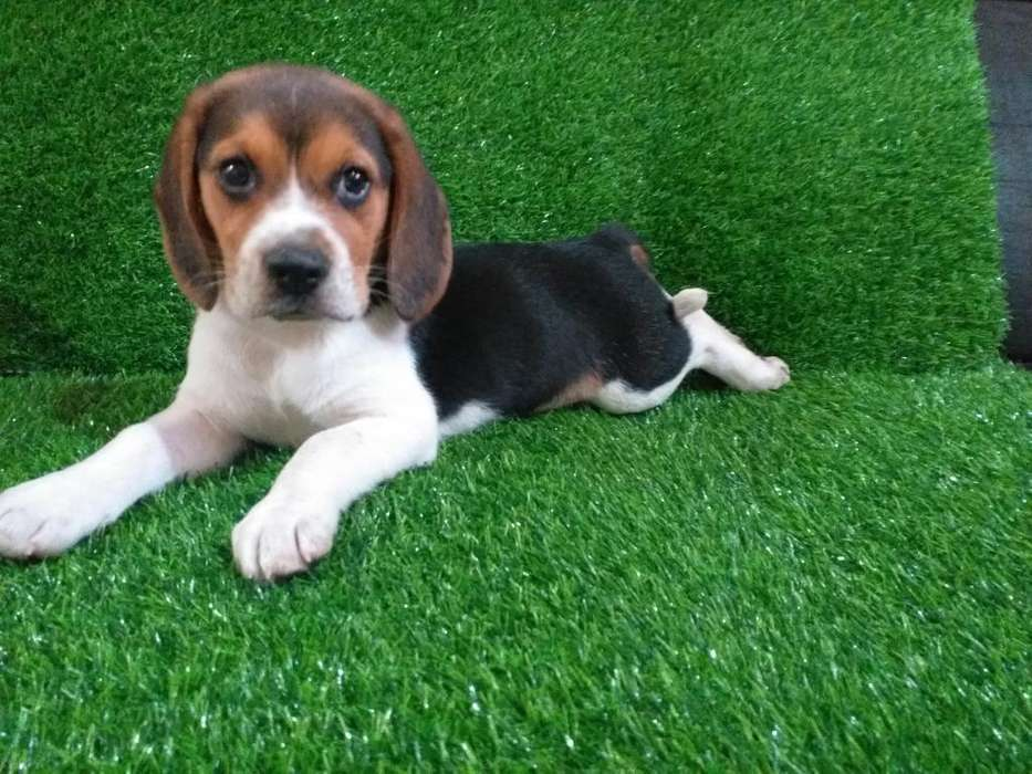 Beagle Tri Color Hembrita