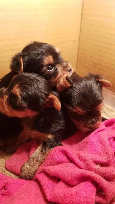 Se Venden Cachorros Yorkshire Terrier A1