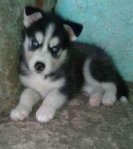 lobos siberianos ojos azules