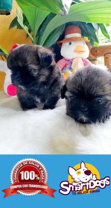 Shitzu Color Crema de Criadero Smartdogs