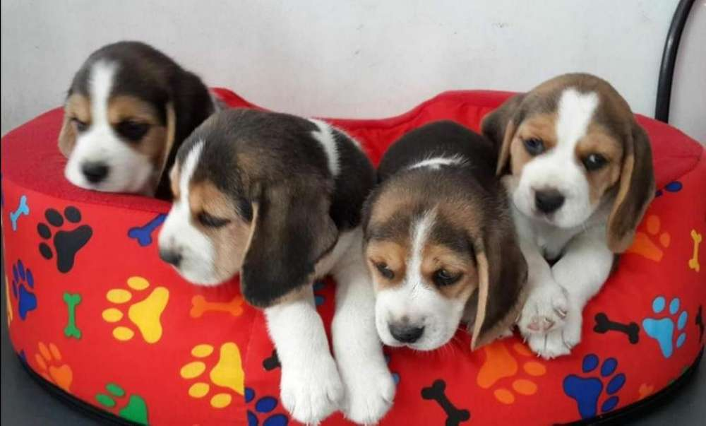 <strong>cachorro</strong>s beagle tricolor