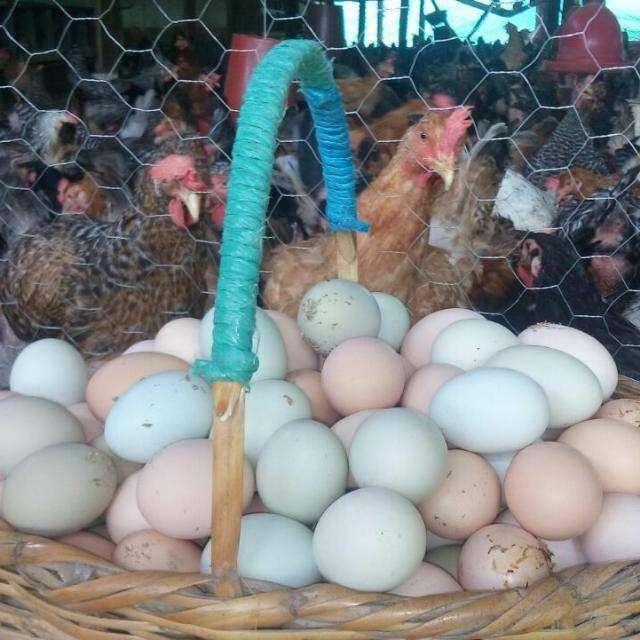 GALLINAS Y POLLAS CRIOLLAS de huevo verde