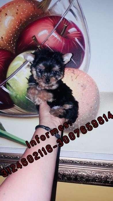 Hermoso Perro Yorkshire <strong>terrier</strong> Mini cup con GARANTIA