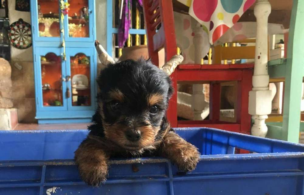 Cachorros Yorky <strong>terrier</strong> Mini