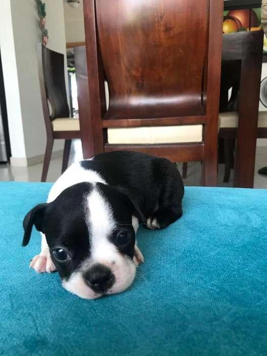 Boston Terrier. Hembra