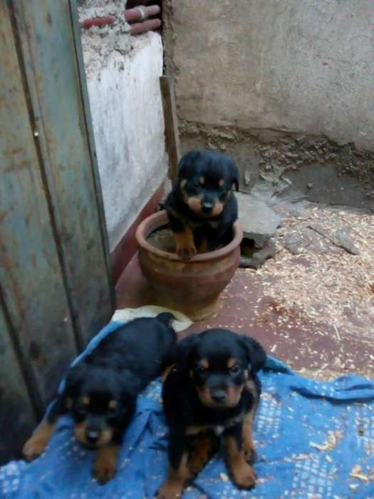 Vendo Cachorros <strong>rottweiler</strong> Machos