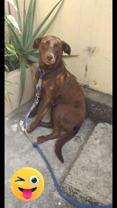 Adopt Perra Labrador 1 Año Y 5 Meses