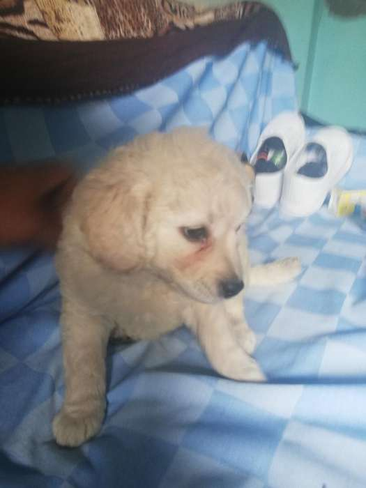 Cachorro French Poodle