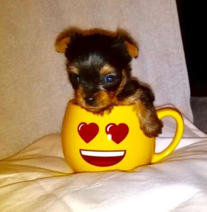 Yorkie Terrier Mini