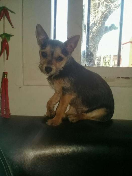 Vendo Chihuahua