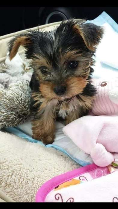 Sensuales Cachorros Yorkshire Terrier