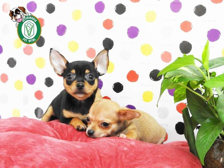 CACHORROS HERMOSOS <strong>chihuahua</strong> TOY EN PET VITAL !!!