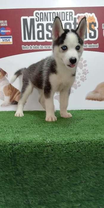 Puppys Huskys Siberianos