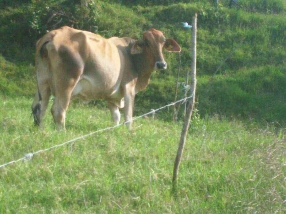 Se Vende Vaca de Primer Parto