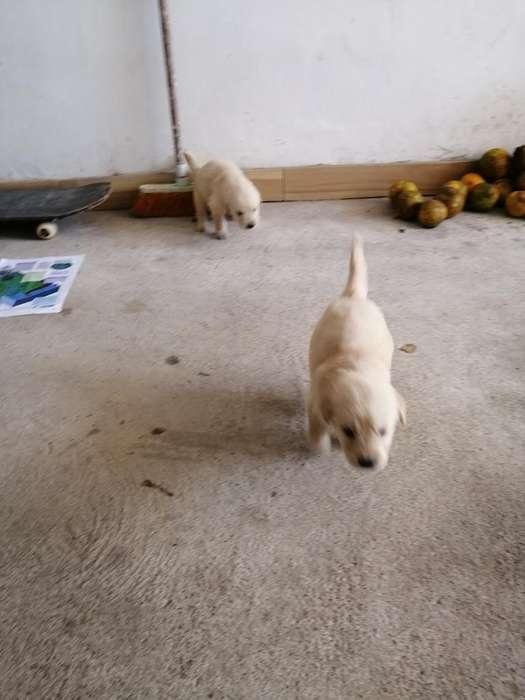 Vendo <strong>cachorro</strong>s Golden Retriever