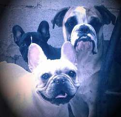 VENDO BULL DOG INGLES Y BULL DOG FRANCES