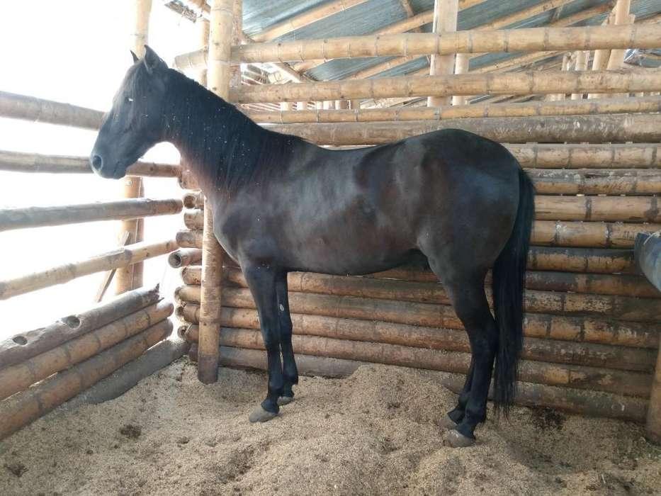 Vendo <strong>caballo</strong> de Paso