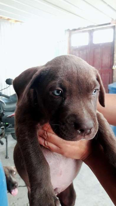 <strong>cachorro</strong> Pitbull Terrier Americano Macho