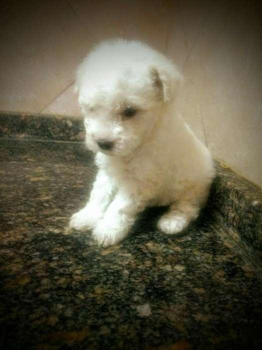 Hermosos Cachorros Caniches Mini