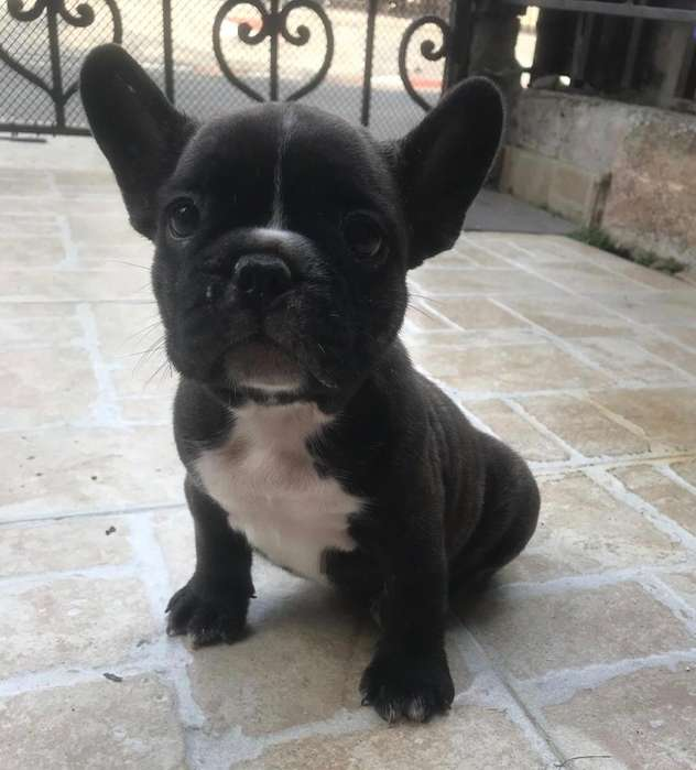 Cachorro <strong>bulldog</strong> Francés Barcina Hembra