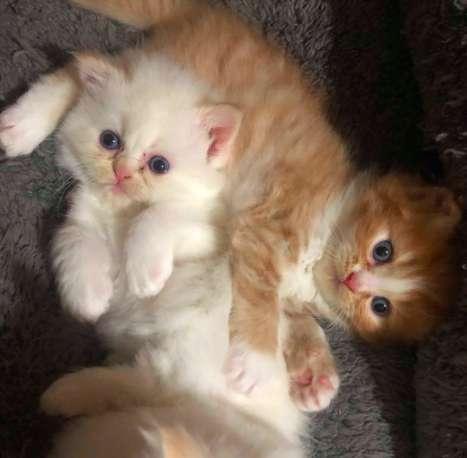gatos persa 1.100.000