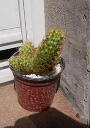 Cactus Mammillaria Elongata Rubra Maceta 10
