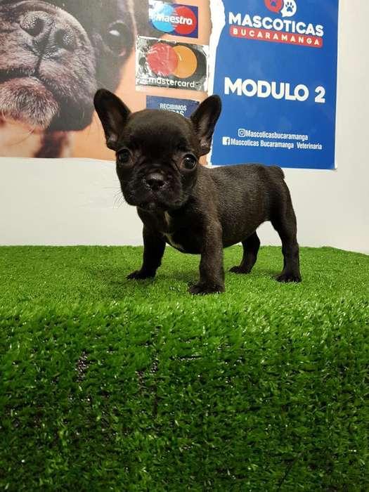 Vendo Bellos <strong>bulldog</strong> Frances